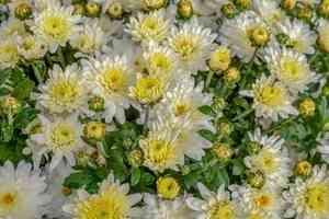 В Архангельске нашли заражённые опасным вредителем хризантемы