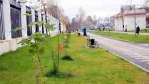 Чиновники «забраковали» появившиеся клены на Рябиновой аллее в Архангельске