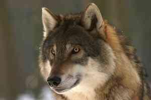 Стаю волков у посёлка Нёнокса под Северодвинском будут искать с вертолётом