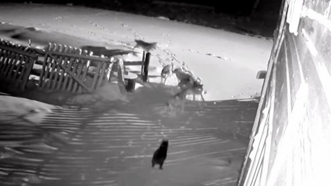 В Неноксе волки загрызли 15 собак: теперь хищников ищут с помощью вертолета