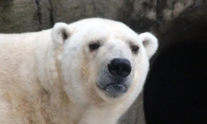 Надпись «Т-34» набелом медведе сделали невандалы, аучёные