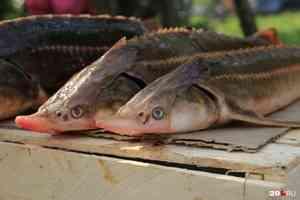 Объем производства рыбы вырос почти в 2 раза за последние 5 лет в Архангельской области