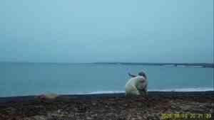 Не поделили добычу: фотоловушка засняла ссору двух белых медведей