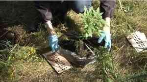 Архангелогородца задержали за выращивание 45 кустов конопли