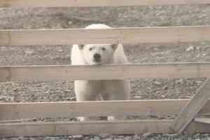 """Снимает Гернет: Навые киногерои """"Русской Арктики - белые медведи"""