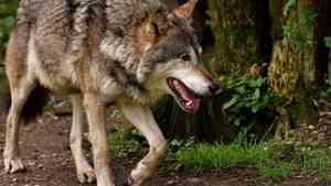 В Архангельской области выплаты за добычу волков достигли рекордных размеров