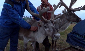 В Заполярье завершают вакцинацию оленей от сибирской язвы