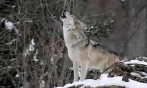Охота наволков вАрхангельской области продлится до28февраля