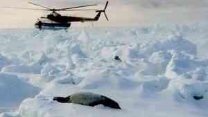 В марте туристы отправятся в гости к белькам на лед белого моря