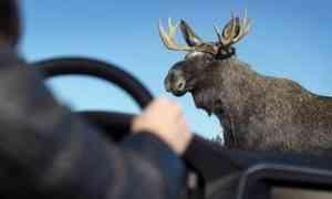 На северодвинской трассе водитель насмерть сбил лося. У зверей началась весенняя миграция