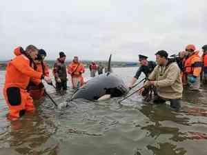 В Магадане сотрудники МЧС России спасли оказавшуюся на отмели в бухте косатку