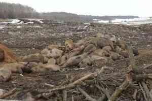 В Вельском районе Архангельской области отменили карантин по чуме свиней