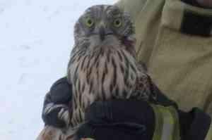 Хищная птица пробила двойное окно в северодвинском офисе