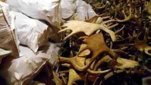 Архангельск отправил на экспорт почти 10 тонн рогов северного оленя