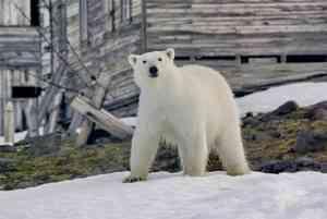 Белых медведей, терроризирующих Новую Землю, вывезут за пределы поселений