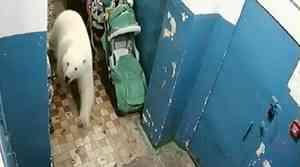 Виноват не только климат: эксперт WWF рассказал, почему белые медведи атакуют жителей Новой Земли