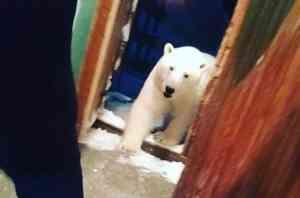 Видео: На Новой Земле белый медведь ходит по подъезду