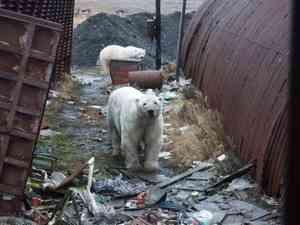 И белые медведи ни при чем. Кто превратил Архангельскую область в свинарник?