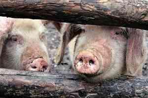 В Плесецке при пожаре в хлеву погибло 11 свиней