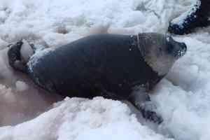 Умерла нерпа, которую спасли жители Архангельска