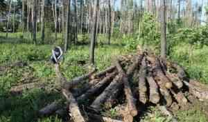 Пеньки вместо вековых деревьев. Кто уничтожает архангельские леса?
