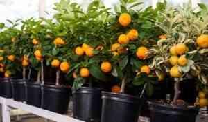 Мини-деревья Экодар: плюсы и минусы гибридного дерева