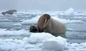 Участникам комплексной экспедиции Северного флота пришлось спасаться от моржа