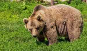 Мишка-пекарь: в мезенском районе медведи напали на столовую и пекарню