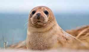 В Архангельске собираются начать добывать гренландского тюленя