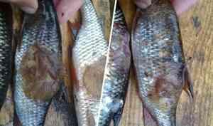 «Болячка некрасивая»: в Рыбнадзоре объяснили, откуда в пинежских озёрах могла взяться рыба с язвами