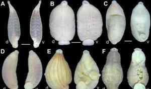 Учёные изАрхангельска открыли девять новых видов пиявок-паразитов. Они питаются кровью рыб иоткладывают яйца вмоллюсков