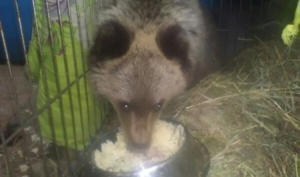 Онежского медвежонка-сироту привезли в Санкт-Петербург