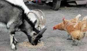В Архангельской области сократилось производство скота и птицы