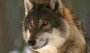 На детской площадке в деревне Лахта заметили волков