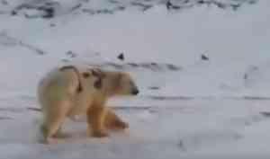 «Он уже чистый»: попавший на видео медведь с надписью «Т-34» живет на Новой Земле