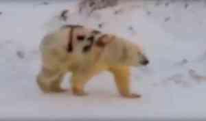 Белый медведь на Новой Земле стал «танкистом» по вине ученых