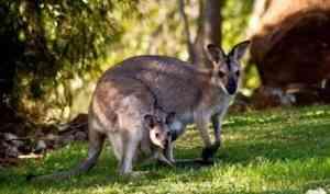 Кенгуру отменяются: депутаты-госдумовцы не поедут в Австралию