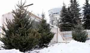 В Архангельске у здания «АГД Даймондс» высажены три голубые ели