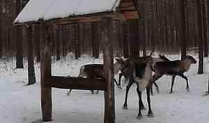 В Архангельской области отметят День дикого северного оленя