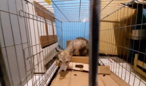 Достали из подвала жилого дома: больную лисицу спасают в приюте «Мата-Мата» в Архангельске