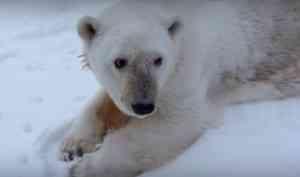 Медведица, которую спасли от браконьеров в Архангельской области, отметила 31 год