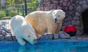 Поданным учёных, самые упитанные белые медведи живут научастках «Роснефти»