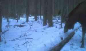 В фотоловушку в Кенозерье попался лось