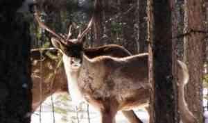 WWF: вАрхангельской тайге обитают необнаруженные ранее стада оленей изКрасной книги
