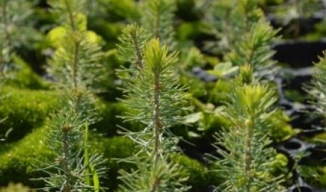 В Устьянском лесопромышленном комплексе завершён первый этап посадки сеянцев ели и сосны