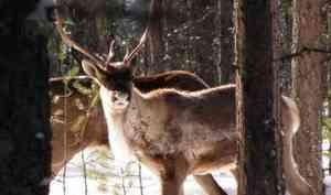 «10 дней пешком и снегоходами»: эксперты WWF — о том, как следят за жизнью краснокнижных оленей в Поморье
