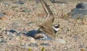 Птица притворилась раненой, чтобы защитить гнездо — видео из нацпарка «Онежское Поморье»