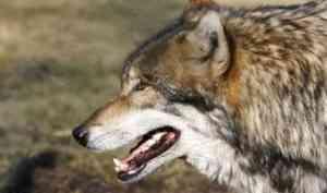 В Архангельской области волк напал на ребёнка