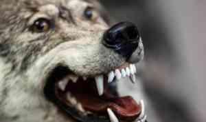 Второй раз за неделю жители Каргопольского района сообщают о нападении волков