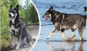 «Мой добрый Ллойд пропал в лесу»: северодвинка просит помочь вернуть пса, который сам искал людей
